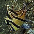 Banggai Cardinalfish With Egg, North by Mathieu Meur