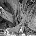Banyan Tree by Rob Hans
