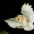 Barn Owl by Andy Harmer and SPL and Photo Researchers