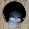 Barn Swallow Chick by DigiArt Diaries by Vicky B Fuller