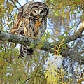 Barred Owl by Deborah Benoit