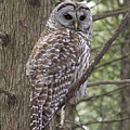Barred Owl by Doris Potter