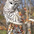 Barred Owl Portrait by Cindy Lindow
