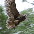 Barred Owl Taking Flight by Keith Lovejoy