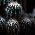 Barrel Cactus by Laurie Paci