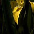Bashful Iris by Daniel G Walczyk