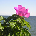Beach Rose by Donna  Davis