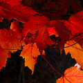 Beautiful Backlit Autumn Maple Leaves by Darrell Young