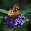 Beautiful Buckeye by Lori Tambakis