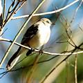 Beautiful Mockingbird by Teresa Blanton