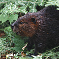 Beaver In Forest by Steve Somerville
