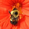 Bee And Nasturtium by Will Borden
