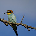 Bee Eater  by Cliff Norton