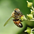Bee On A Flower Closeup by Clarence Alford