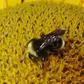 Bee On Sunflower 4 by Chandelle Hazen