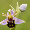 Bee Orchid by Liz Pinchen