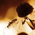 Beetle And Black Eyed Susan by Angela Rath