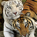 Bengal Tigers At Play by Bill Dodsworth