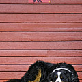 Bernese Mountain Dog Alertly Guarding Home. by Fred J Lord