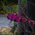 Berries On The Limb by Michael Isam