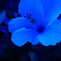 Big Blue Hibiscus by Florene Welebny