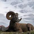 Big Ram by Greg Hammond
