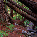 Big Sur Redwood Canyon by Charlene Mitchell