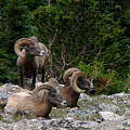 Bighorn Sheep by George Tuffy