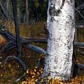 Birch Autumn 3 by Ron Day