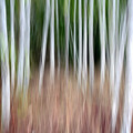 Birch Grove Impressions by Kelly Kellogg