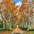 Birch Pathway by Kristin Elmquist