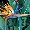 Bird Of Paradise by Nicole I Hamilton