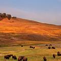Bison Grazing On Hill At Hayden Valley by Sankar Raman