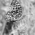 Black And White Butterfly On Clover by Emily Michaud