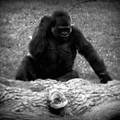 Black And White Gorilla by Emily Kelley