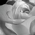 Black And White Rose by Phyllis Denton