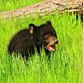 Black Bear Cub by Dennis Hammer