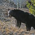 Black Bear by Dave Clark