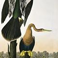 Black Billed Darter by John James Audubon