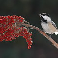 Black-capped Chickadee by Raju Alagawadi