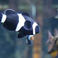 Black Clown Fish by Aimee Galicia Torres