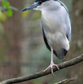Black Crowned Night Heron IIi by Suzanne Gaff