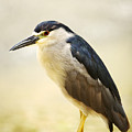Black Crowned Night Heron by Ron Dahlquist - Printscapes