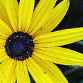 Black Eyed Susan by Wendy Raatz Photography