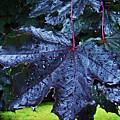 Black Maple by Al Bourassa