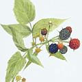Black Raspberries by Scott Bennett