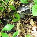 Black Rat Snake by Joshua Bales