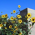 Blackeyed Susans And Adobe by Joseph R Luciano