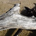 Bleached Driftwood by Mary Haber