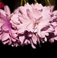 Blossom by Svetlana Sewell